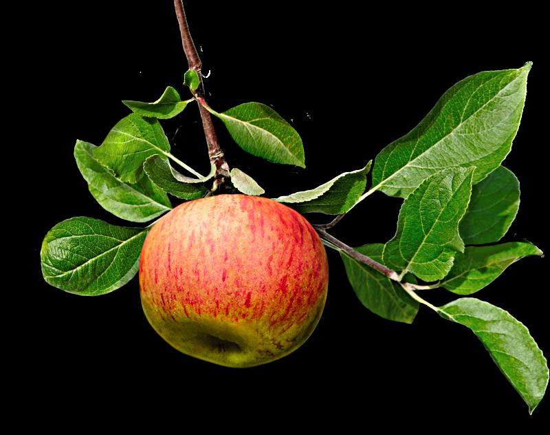 Manzanas de Galicia para Sidras Maeloc